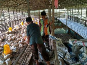 YBM_Berdayakan Pesantren Melalui BUMP Ternak Ayam Pedaging3