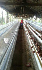 Pulet Ayam Petelur Bantuan YBM-BRI Mulai Masuk Kandang Budidaya