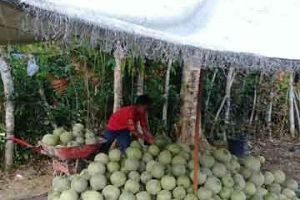 PKUR Melon Aceh