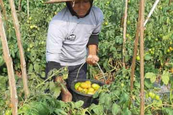 Panen Tomat Klaten Sistem Tanam Jarak Satu Minggu