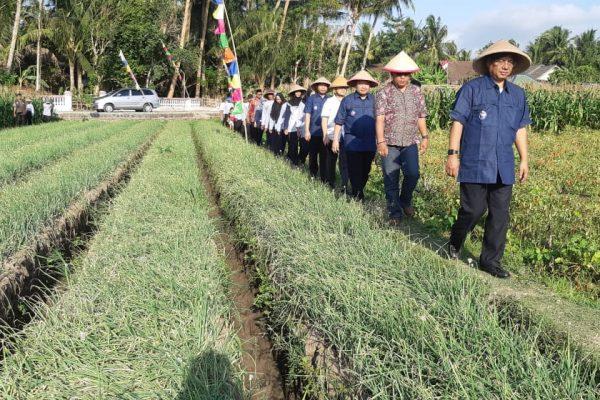 Panen PKUR Bawang Yogyakarta