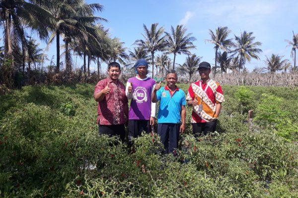 Panen PKUR Cabai Merah Yogyakarta