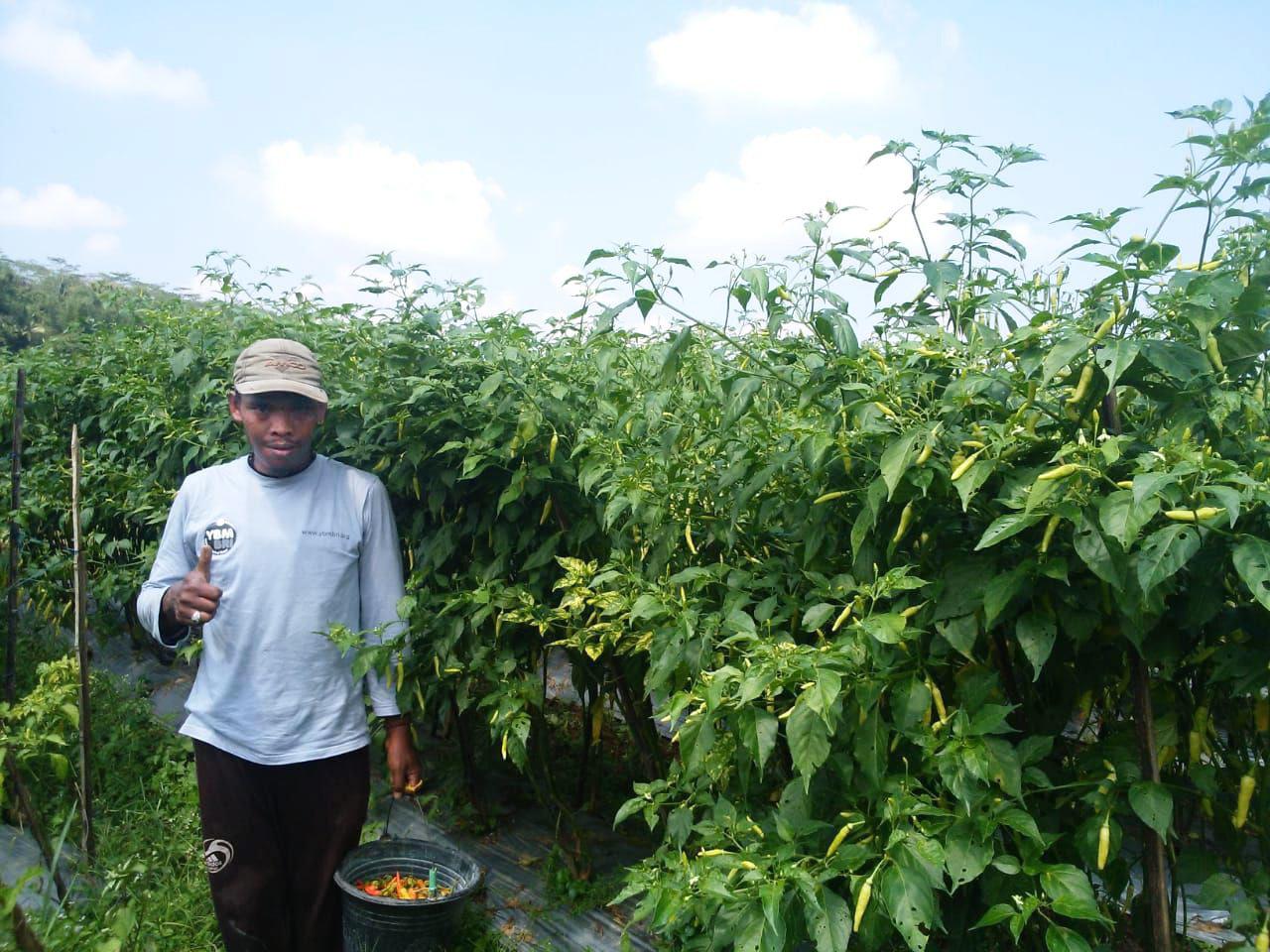 Mendulang Untung Panen Cabai Rawit Dusun Wanteyan