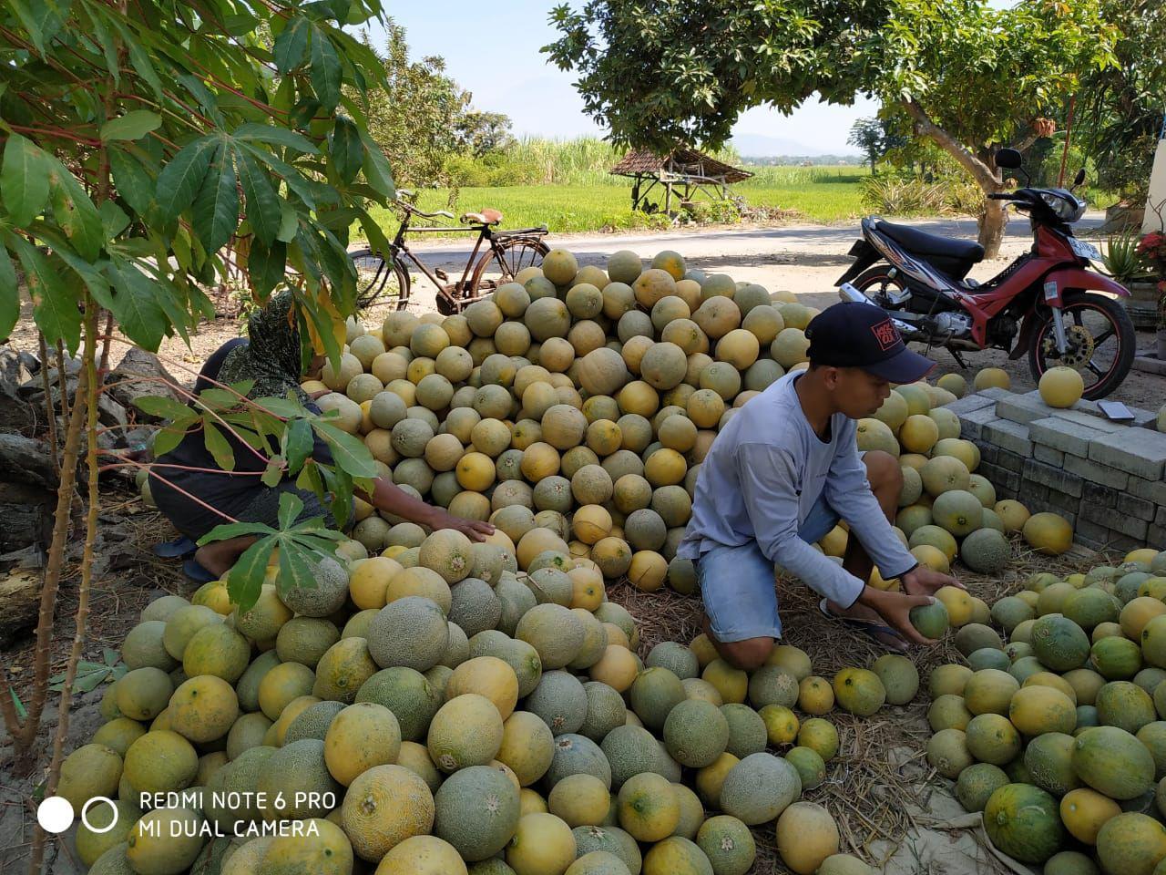 Panen Melon Tambakmas